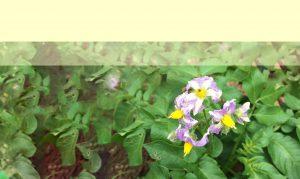 ジャガイモの花3
